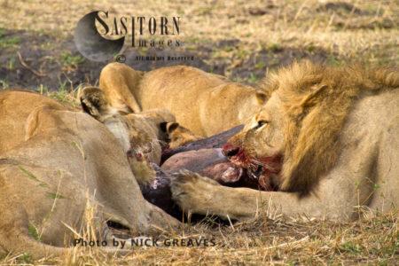 Pride Feeding (Panthera Leo), Katavi National Park, Tanzania