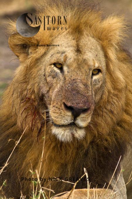 Joseph Portrait, (Panthera Leo)