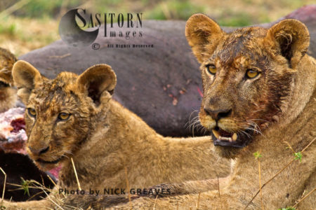 Lioness And Cub (Panthera Leo), Katavi National Park, Tanzania