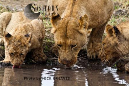 LIONS DRINKING (Panthera Leo), Katavi National Park, Tanzania