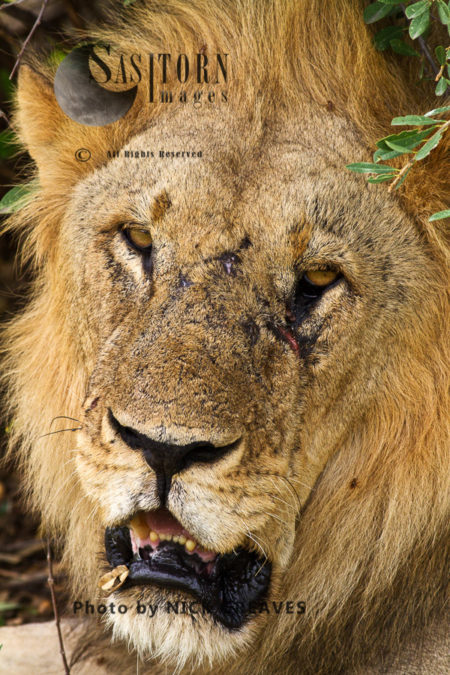 Scarred Old Male (Panthera Leo), Ruaha National Park, Tanzania
