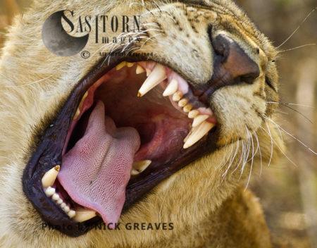 Lioness Yawn (Panthera Leo), Katavi National Park, Tanzania