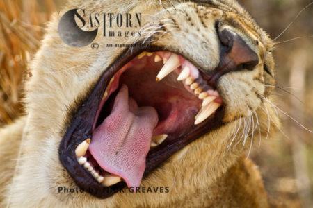 A Lioness Yawns (Panthera Leo), Katavi National Park, Tanzania