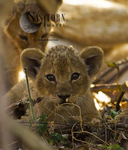 Katuma Cubs At 2 Months (Panthera Leo), Katavi National Park, Tanzania