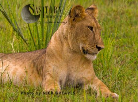 Inquisitive Lioness (Panthera Leo), Katavi National Park, Tanzania