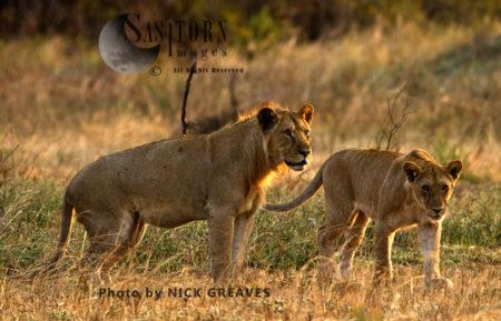 Katuma Pride Sub-adults (Panthera Leo), Katavi National Park, Tanzania