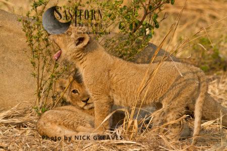 Katuma Pride Cubs (Panthera Leo), Katavi National Park, Tanzania