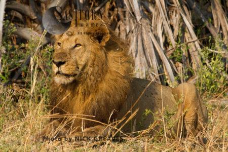 Katuma Pride Male (Panthera Leo), Katavi National Park, Tanzania