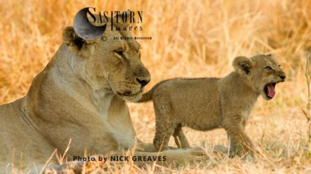 Lioness With Cub (Panthera Leo), Katavi National Park, Tanzania