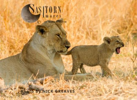 Lioness With Cub (Panthera Leo), Katavi National Park, Tanzania