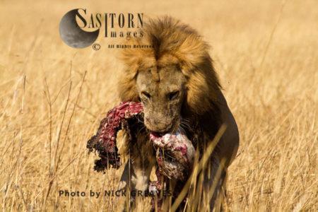 Pride Male With Prey (Panthera Leo), Katavi National Park, Tanzania