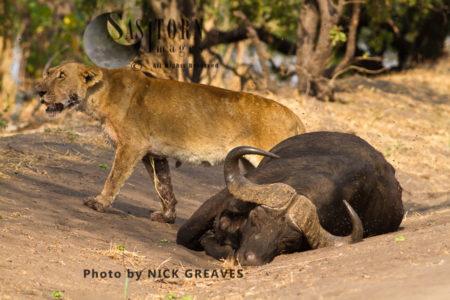 Lioness With Kill (Panthera Leo), Katavi National Park, Tanzania