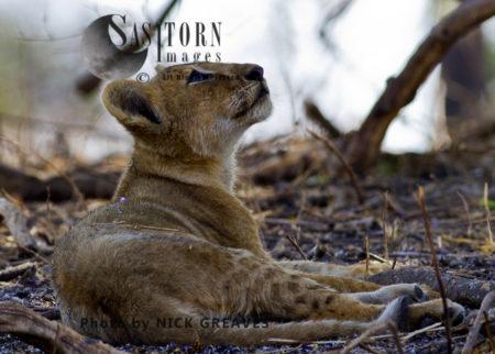 Inquisitive Cub (Panthera Leo), Katavi National Park, Tanzania