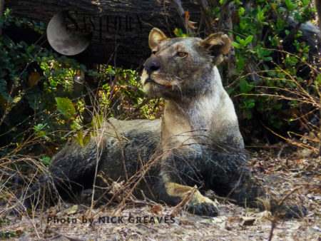 Muddy Lioness (Panthera Leo), Katavi National Park, Tanzania