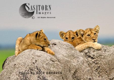 Katuma Cubs (Panthera Leo), Katavi National Park, Tanzania
