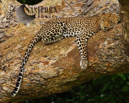 Leopard Sleeping, Katavi National Park, Tanzania