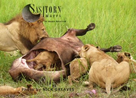 Lion Pride On Kill (Panthera Leo), Katavi National Park, Tanzania