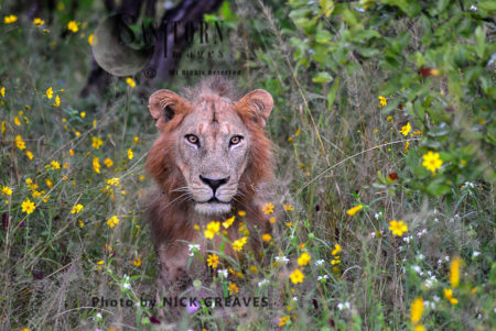 Young Male Lion (Panthera Leo)