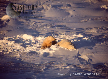 Male Polar Bears (Ursus Maritimus) Resting On Fresh Sow After Play Fighting, Wapusk National Park, Hudson Bay, Manitoba, Canada