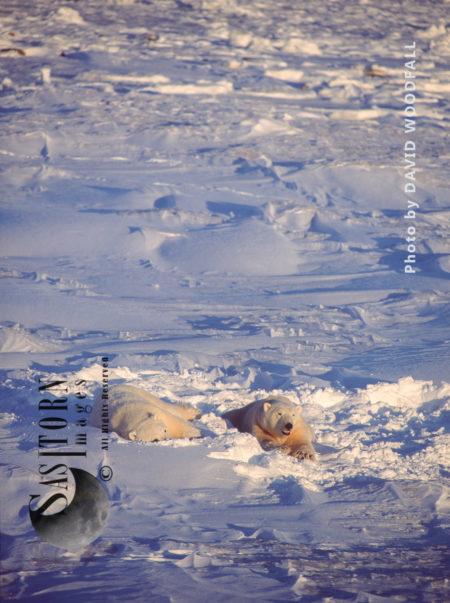 Male Polar Bears (Ursus Maritimus) Resting On Fresh Sow After Play Fighting, Wapusk National Park, Hudson Bay, Manitoba, Canada, Manitoba, Canada