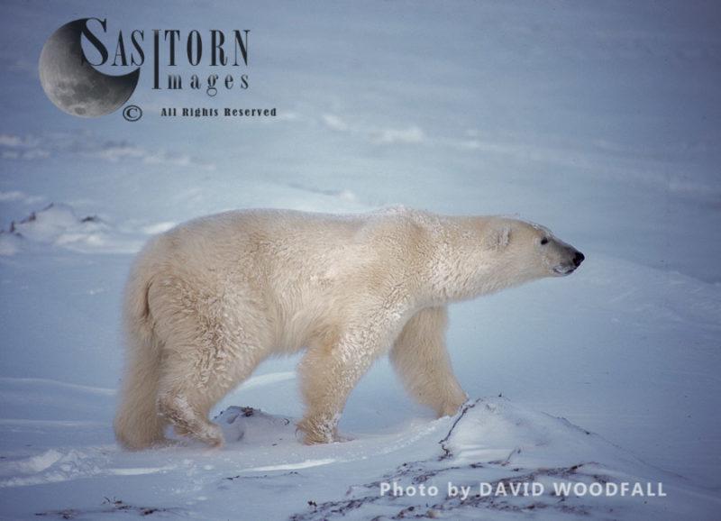 Polar Bear (Ursus maritimus), male shaking himself free of snow in blizzard, Wapusk National Park, Manitoba Canada