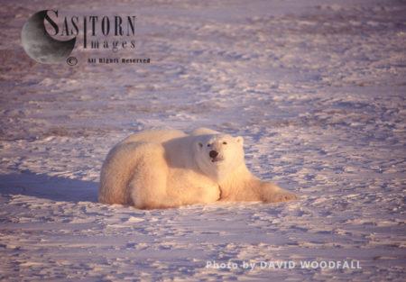 Male Polar Bear (Ursus Maritimus) Resting On Snow, Wapusk National Park, Hudson Bay, Manitoba, Canada