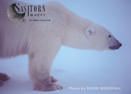 Male Polar Bear (Ursus Maritimus)  Alert Posture Against An Intrusion Of Other Bear, Wapusk National Park, Hudson Bay, Manitoba, Canada
