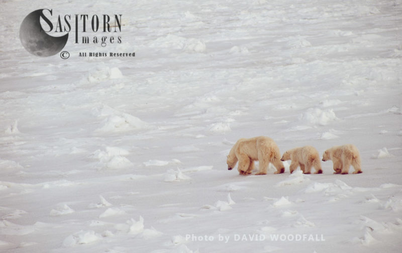 Polar Bears (Ursus maritimus), Female with two cubs walking in line, Wapusk National Park, Manitoba Canada