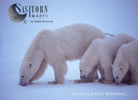 Polar Bears (Ursus Maritimus), Female Teaching Caution To 8 Months Old Cubs, Wapusk National Park, Hudson Bay, Manitoba, Canada