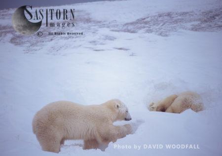 Male Polar Bears (Ursus Maritimus) Sleeping In Day Bed During Blizzard, Wapusk National Park, Hudson Bay, Manitoba, Canada