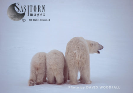 Polar Bears (Ursus Maritimus), Female And 8 Months Old Cub, Wapusk National Park, Hudson Bay, Manitoba, Canada