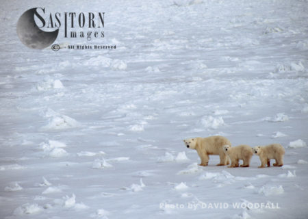 Polar Bears (Ursus Maritimus) Female With Two Cubs Walking On Ice, Wapusk National Park, Hudson Bay, Manitoba, Canada