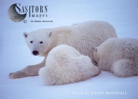 Polar Bears (Ursus Maritimus), Female And 8 Months Old Cubs, Wapusk National Park, Hudson Bay, Manitoba, Canada