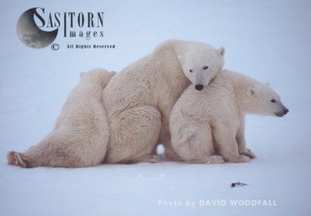 Polar Bears (Ursus Maritimus), Female With Cubs Resting In Snow, Wapusk National Park, Manitoba Canada