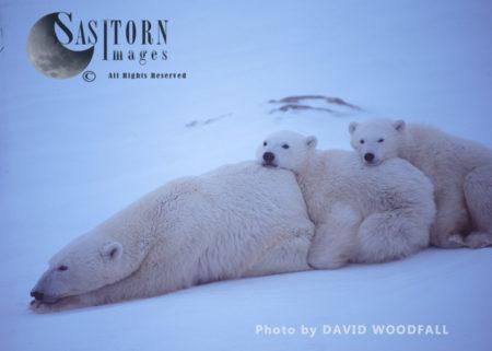 Polar Bears (Ursus Maritimus), Female And Cubs Resting, Wapusk National Park, Hudson