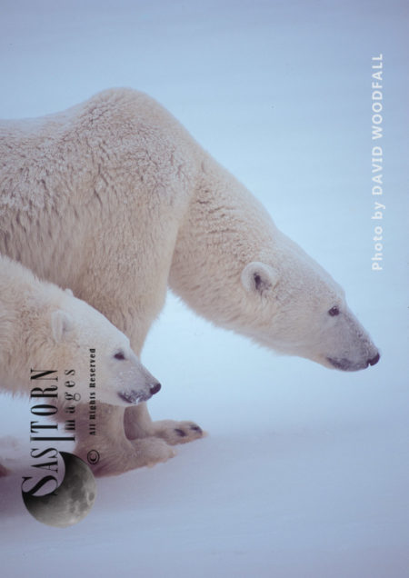 Female Polar Bear And 8 Months Old Cub (Ursus Maritimus) An Offensive Posture Protecting Against Nearby Male, Wapusk National Park, Hudson Bay, Manitoba, Canada