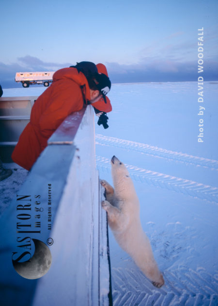 Tundra Buggy Polar Bear And A Photograher Wapusk National Park,  Hudson Bay, Manitoba, Canada