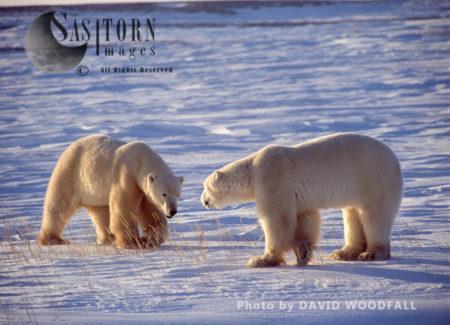 Male Polar Bears (Ursus Maritimus) Greeting Each Other, Wapusk National Park, Hudson Bay, Manitoba, Canada