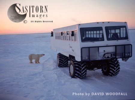 Male Polar Bear (Ursus Maritimus) In Sub-Arctic On Tundra Buggy Tracks And Tundra Buggy On Esker, Hudson Bay, Manitoba, Canada
