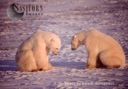 Male Polar Bears (Ursus Maritimus) Greet As A Prelude To Play Fighting, Wapusk National Park, Hudson Ba, Manitoba, Canada