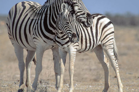 Burchell's Zebra (Equus Burchelli), Female And Foal, Etosha National Park, Namibia