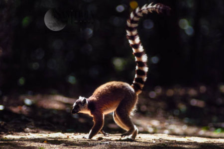Ring-tailed Lemur (Lemur Catta) Walking, Berenty, Southern Madagascar
