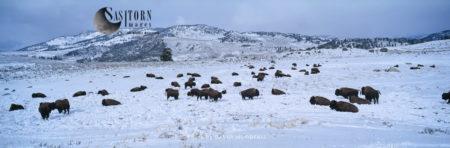 Yellowstone Park Bison Herd, Lamar Valley, Yellowstone National Park, Wyoming, USA