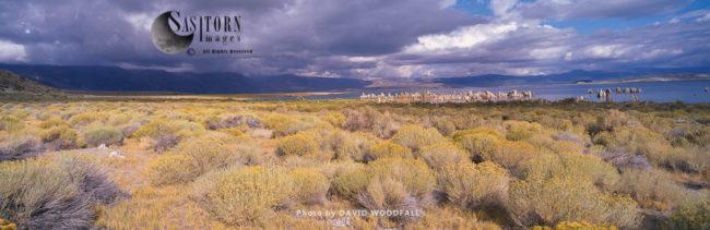Flowering Rabbit Brush And Soda Towers, Mono Lake, Sierra Nevada Mountains, California