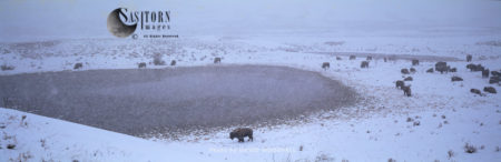 Yellowstone Park Bison Herd  In Snow Storm, Lamar Valley, Yellowstone National Park, Wyoming, USA