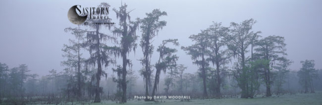 Swamp Cypress Grove, Lake Martin Nature Reserve, Louisiana, USA