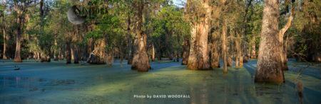 Old Cypress Trees In Cajun Swamp & Lake Martin, Near Breaux Bridge And Lafayette Louisiana