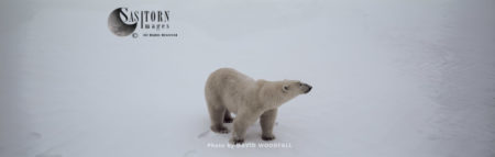 Polar Bear (Ursus Maritimus), Male In Snow, Hudson Bay, Northeastern Canada