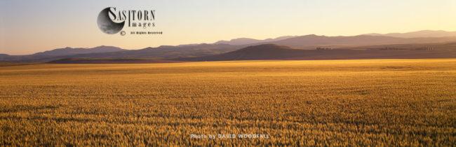 Ripening Wheat, Montana, USA