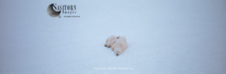 Polar Bears (Ursus Maritimus), Female With Cubs Resting In Snow, Wapusk National Park, Manitoba Canada